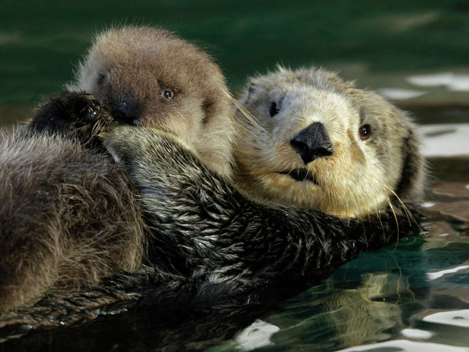 Aniak, right, a sea otter at the Seattle Aquarium, swims with her yet-to-be named daughter, Thursday, Jan. 26, 2012, in Seattle. The baby was born on Jan. 14, 2012 and will be named in February, after the public votes on a selection of names prepared by the Aquarium staff. Photo: Ted S. Warren / Associated Press