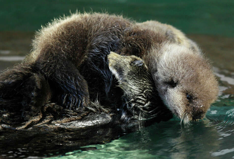 A baby sea otter at the Seattle Aquarium dips her face close to the water,  Thursday, Jan. 26, 2012, as she rides on the chest of her mother, Aniak, in Seattle. The baby was born on Jan. 14, 2012 and will be named in February, after the public votes on a selection of names prepared by the Aquarium staff. Photo: Ted S. Warren / Associated Press