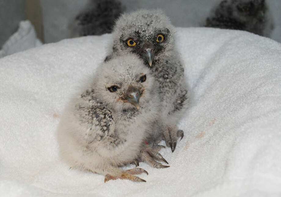 Nine baby owls are being cared for by veterinary students at Washington State University.