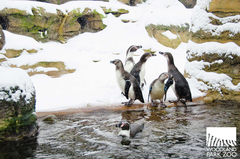 Penguins don't seem to mind the snow -- go figure.