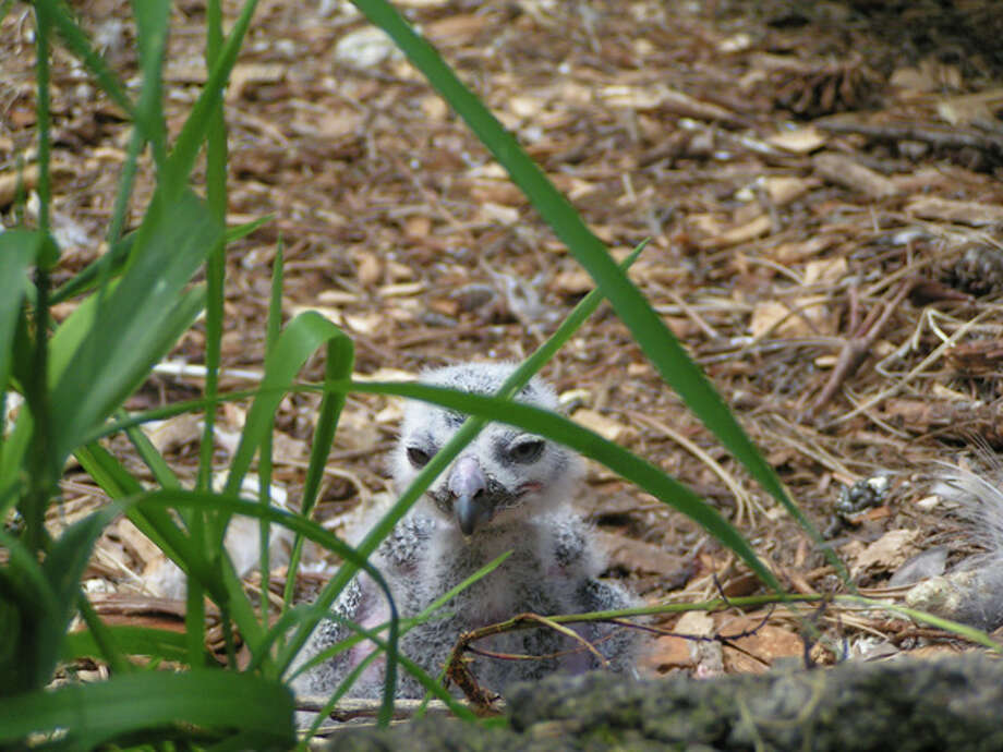 A snowy owl hatched at Woodland Park Zoo on June 13.