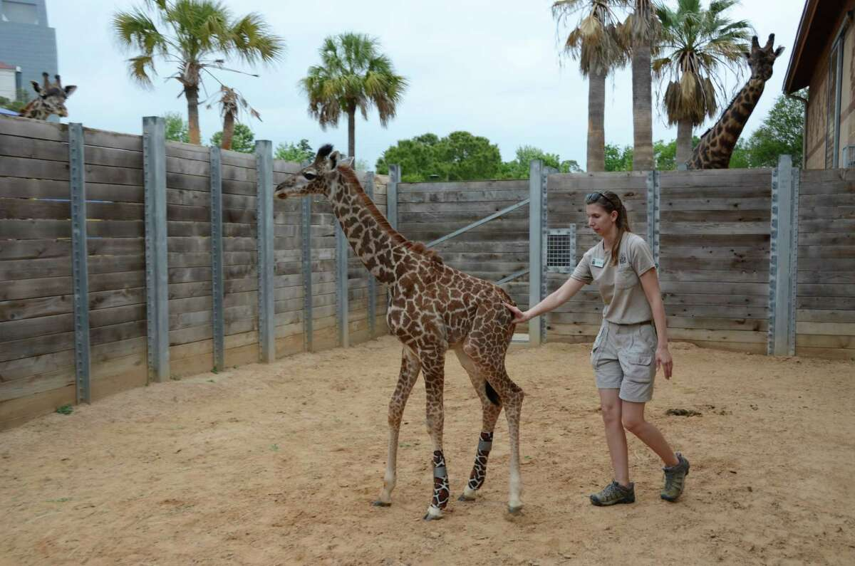 Giraffe keeper Jessica Sigle performs physical therapy with Yao in the outdoor paddock, a holding yard between the giraffe barn and the giraffe exhibit.