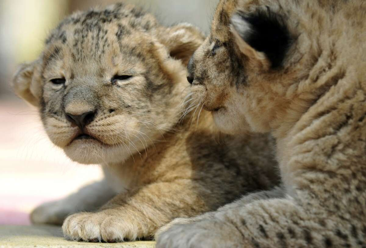 One week old lion cubs learn the sun is really bright!