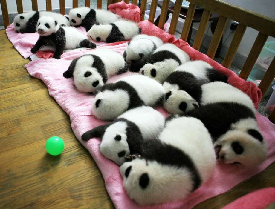 More pandas in one room than you could possibly fathom! Photo: STR, Getty