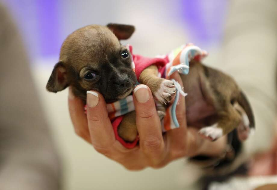 A tiny puppy named Beyonce will make you fall crazy in love! Photo: NBC NewsWire, NBCU Photo Bank Via Getty Images