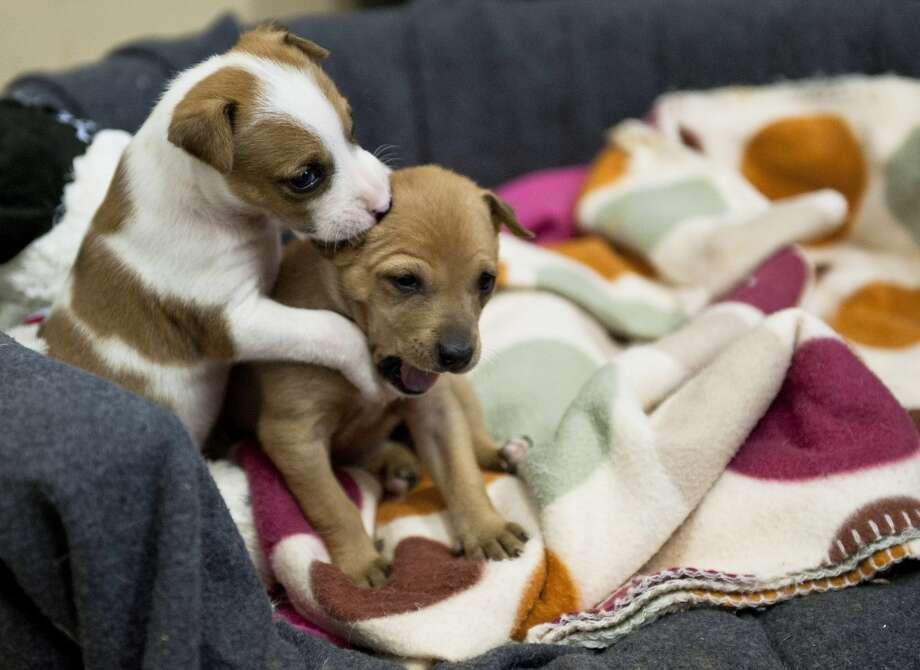 One tiny puppy noms another puppy! Photo: Gallo Images, Getty Images