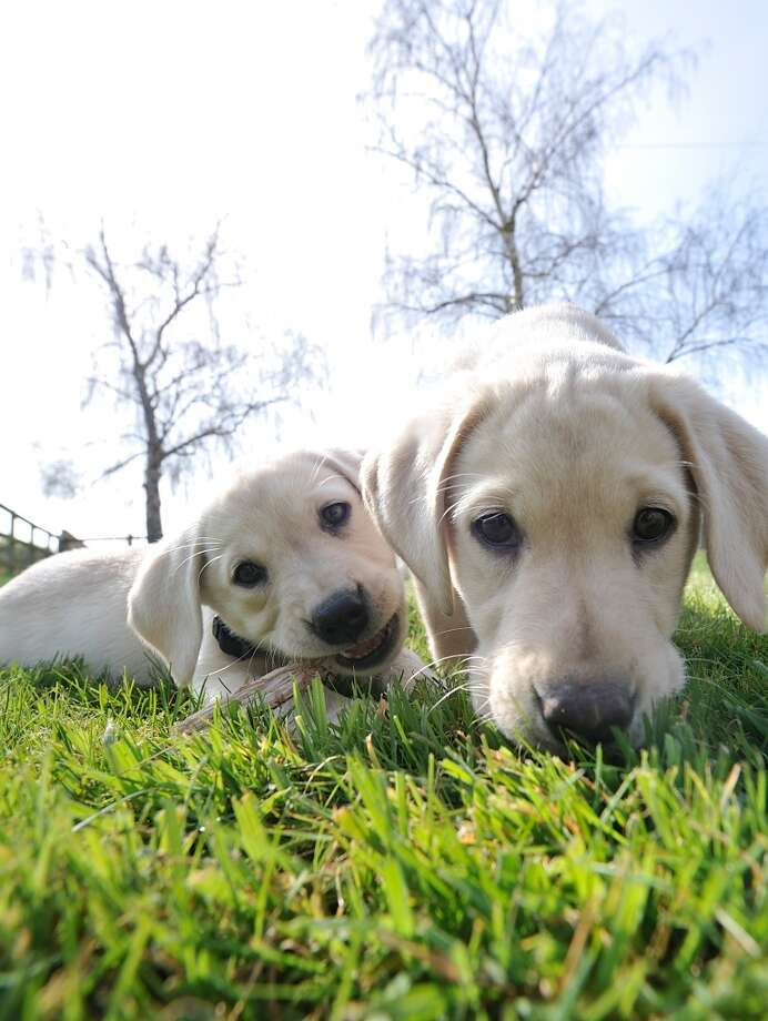 Two Labrador Retrievers enjoy the wonders of spring! Photo: PhotoPlus Magazine