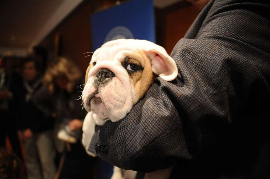 Dominique the bulldog  puppy is skeptical! Photo: Gary Gershoff, Getty