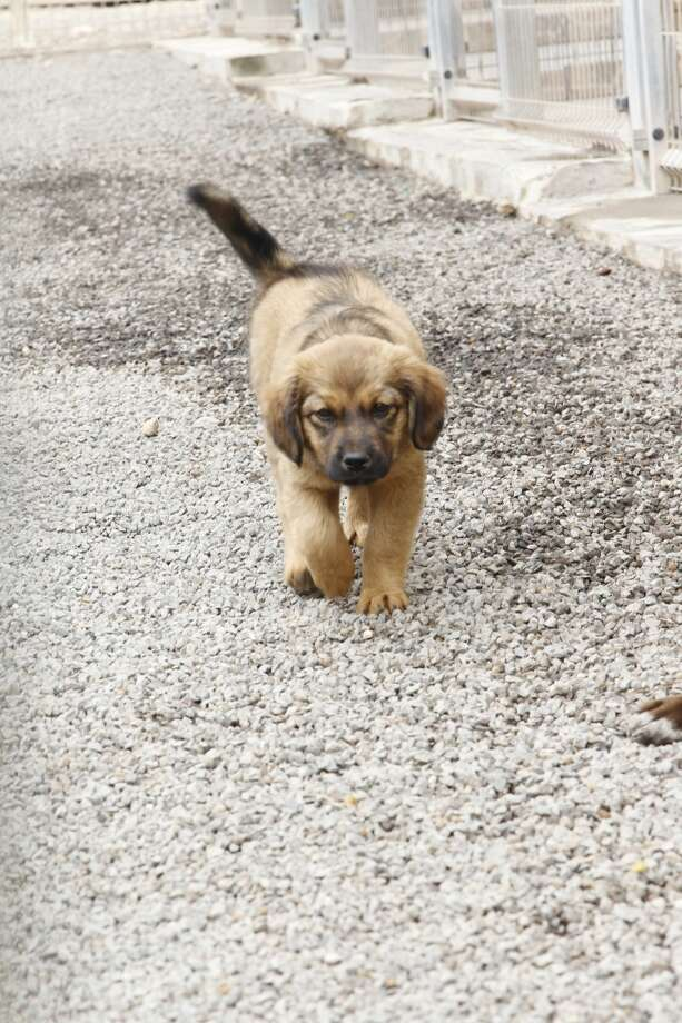 Cuddly Spanish puppy goes for a walk! Photo: Agency-Animal-Picture, Getty Images