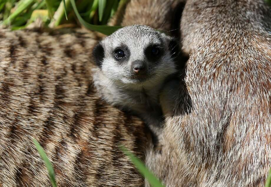 A six-week-old meerkat pup says hello to the world! Photo: Justin Sullivan, Getty Images