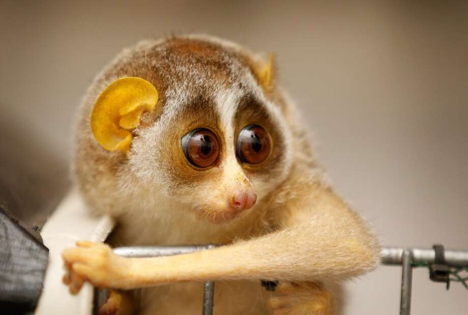A baby slow loris! Photo: Christopher Furlong, Getty