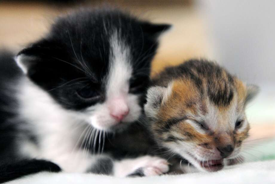 A kitten plays with a nine-day-old Colombian Tigrillo! Photo: RAUL ARBOLEDA, AFP/Getty Images