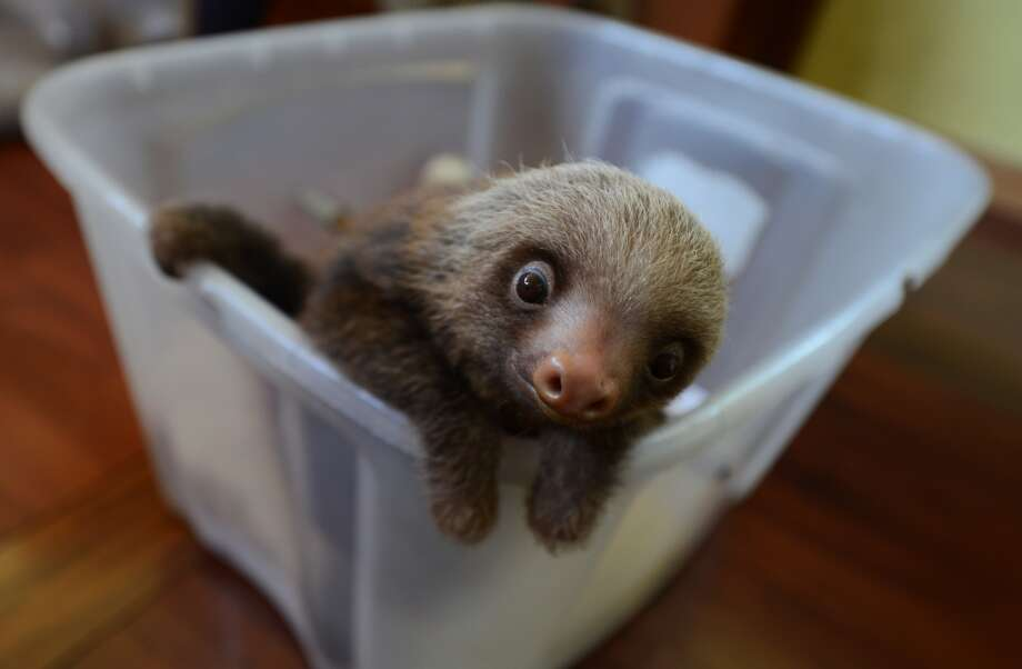 A baby sloth makes a very slow escape from his bucket! Photo: RODRIGO ARANGUA, AFP/Getty Images