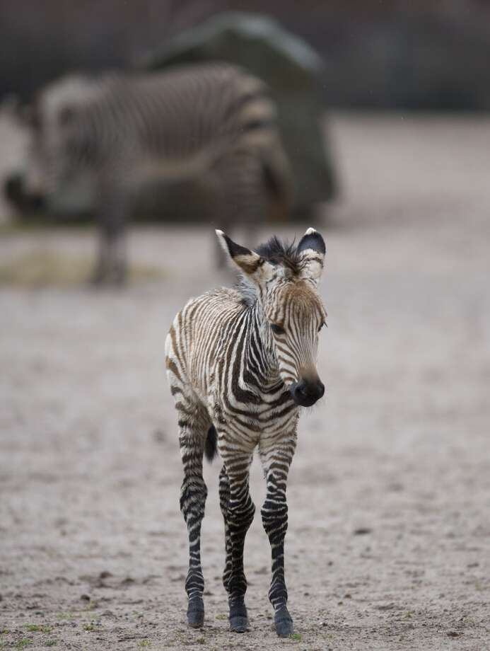 Mira the baby mountain zebra contemplates the knobbiness of her knees! Photo: FLORIAN SCHUH, AFP/Getty Images