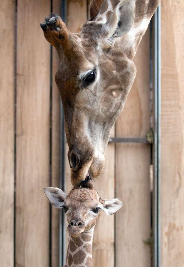 A baby giraffe and its momma enjoy a special bond! Photo: BERND THISSEN, AFP/Getty Images