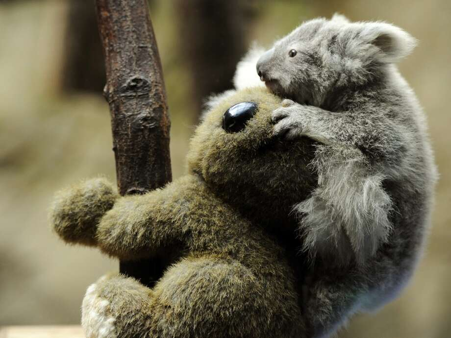 A young koala climbs to the top only to realize this isn't Mom! Photo: MARIUS BECKER, AFP/Getty Images