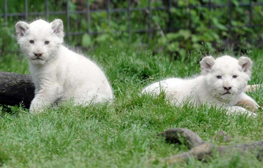 Two white lion cubs do not blend in with their surroundings!