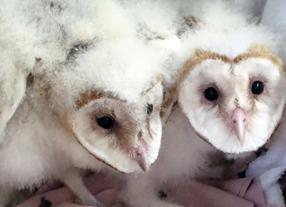 Owl babies are so fluffy! Photo: Tom Millham, Lake Tahoe Wildlife Care / ONLINE_YES