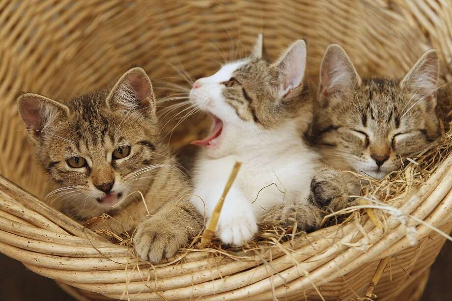 Three kittens in a basket settle down for naptime!