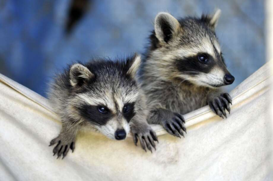 Baby raccoons test a hammock for your comfort!
