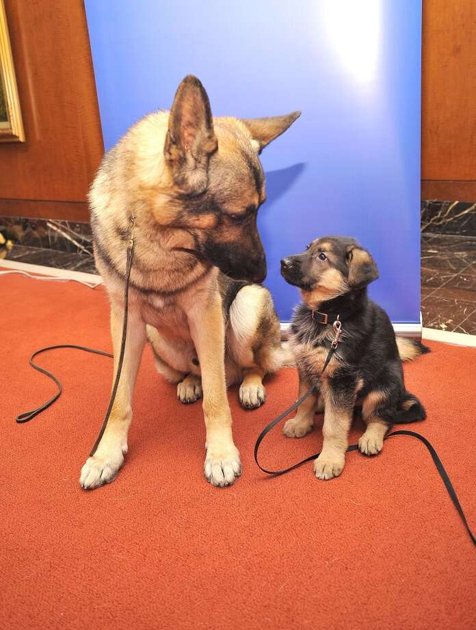 A big German Shepherd shows a little German Shepherd who\'s the boss!