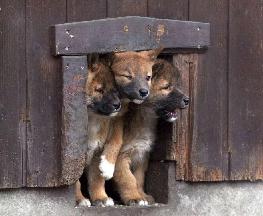 Not enough room for baby dingos to squeeze through a door!
