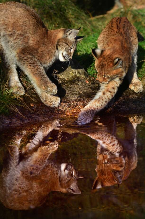 Northern Lynx kittens pretend they\'re the subject of a majestic oil painting!