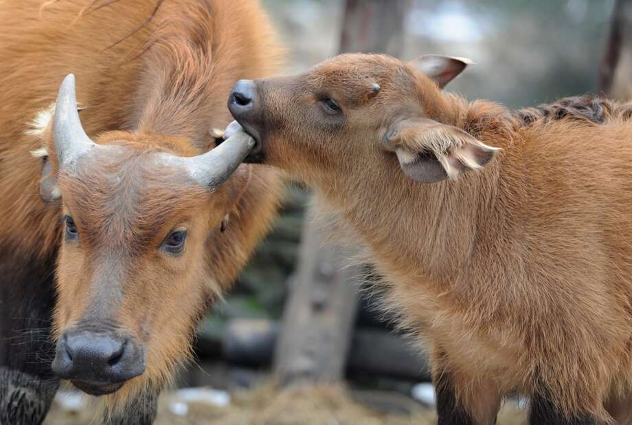 A one month old buffalo baby finds a tasty snack!
