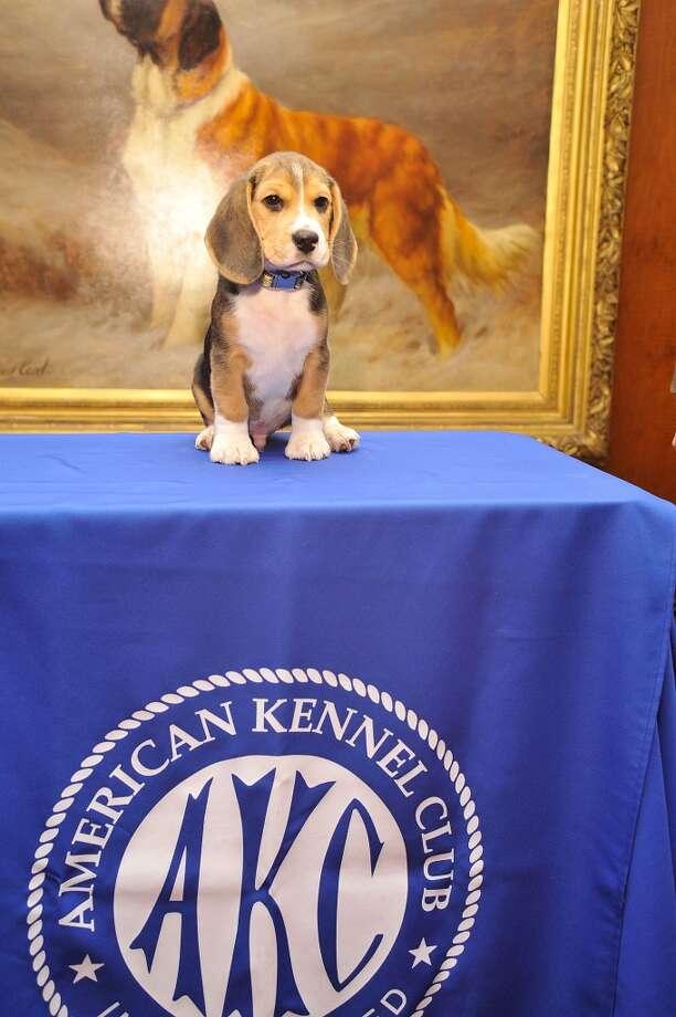 Jag the Beagle puppy strikes a regal pose!