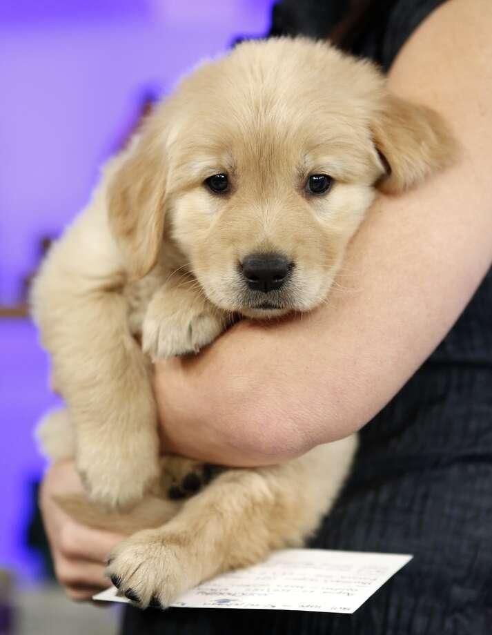 A Golden Retriever puppy enjoys some snuggles!