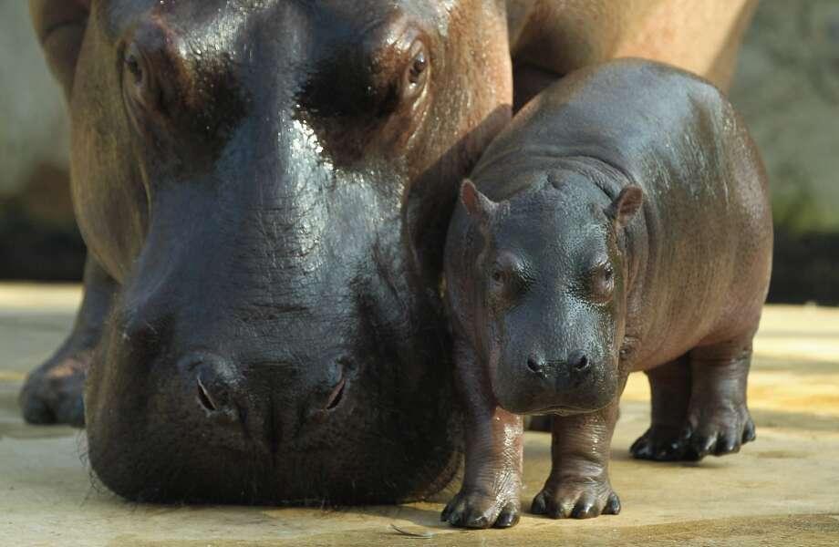 Baby hippopotamus and Momma hippopotamus stare you down!