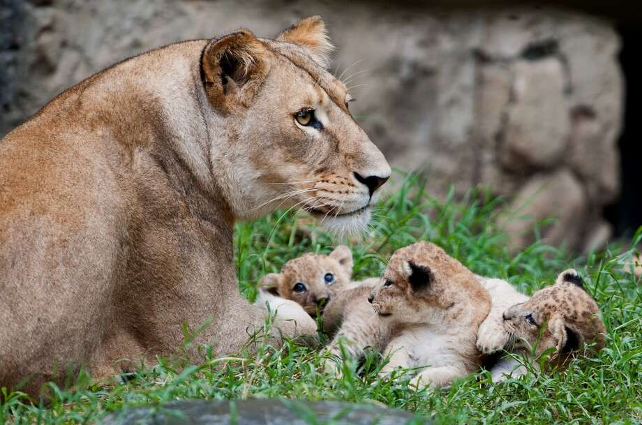 Three lion cubs play with mom!