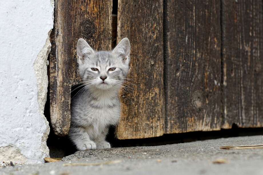 German farm kitten looks for intruders!