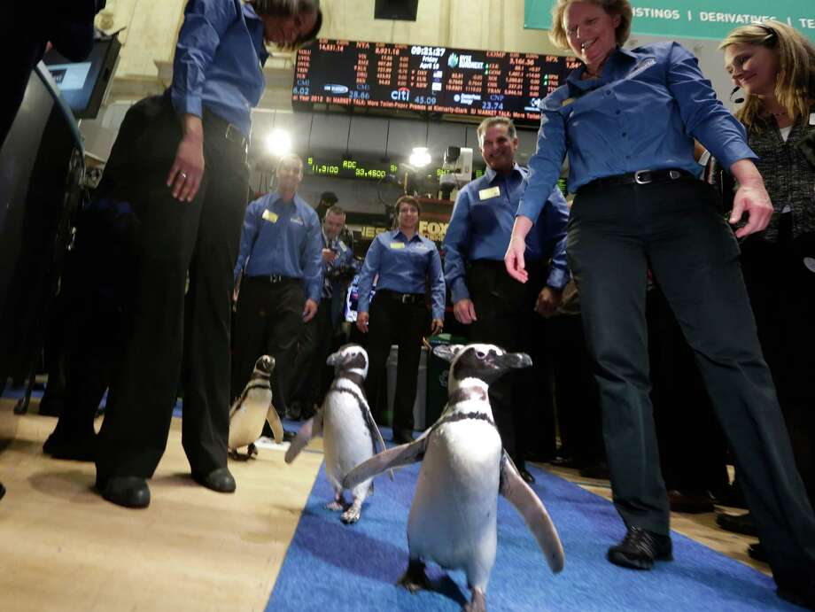 Penguins from SeaWorld are escorted by their handlers on the floor of the New York Stock Exchange during the company's IPO, Friday, April 19, 2013, in New York. The broad Standard & Poor's 500 index opened higher early Friday. (AP Photo/Richard Drew) Photo: Richard Drew