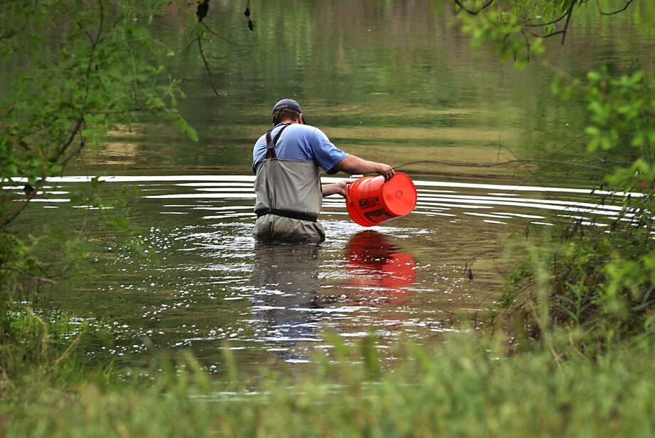 A fisheries biologist releases a bucket of juvenile chinook salmon into the San Joaquin River. Photo: Eric Paul Zamora, McClatchy-Tribune News Service