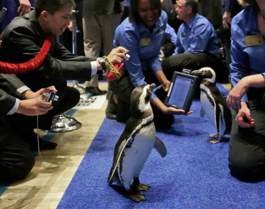 "SeaWorld Entertainment Inc.'s penguins were a hit on the floor of the New York Stock Exchange for the company's initial public offering. The stock is trading under the ""SEAS"" ticker symbol. SeaWorld gained 24 percent to close at $33.52 per share Friday, up from its initial public offering priced at $27 per share."