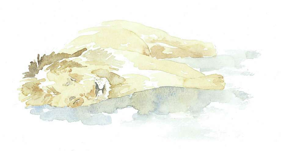 """Sleeping Lion,"" a watercolor by Alison Nicholls, is one of several pieces of the artist's work on display at the Darien Nature Center through April 25 in the exhibit ""Lions, Livestock and Living Walls."" Photo: Contributed"