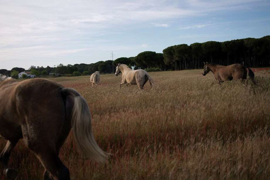 Barring an unlikely reprieve, Francisco Mesa's purebred horses will be turned into meat for export come July. The horses are victims of a wrenching economic downturn that has wiped out fortunes in Spain. Photo: Laura Leon, STR / AP