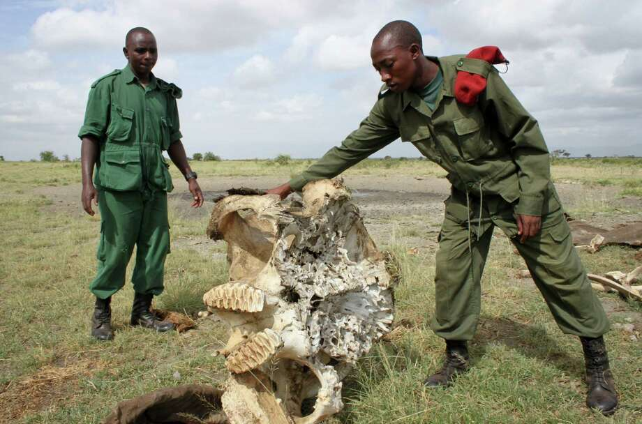 In this Wednesday, Feb. 13, 2013 photo, two members of the Village Game Scouts, a security force made up of villagers trying to protect the animals on their community land, examine the skull of an elephant killed by poachers outside of Arusha, Tanzania. Every week brings new reports of elephant deaths - and the government workers who killed them. Army soldiers, wildlife rangers, local police, customs officials - the government is full of employees complicit in the killings of the nation's top tourism treasure. Photo: AP