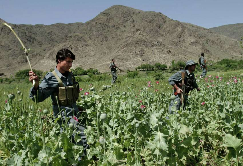 In this Saturday, April 13, 2013 photo, Afghan policemen destroy an opium poppy field in Noorgal, Kunar province, east of Kabul, Afghanistan. Opium poppy cultivation has been increasing for a third year in a row and is heading for a record high, the U.N. said in a report released Monday. Poppy cultivation is also dramatically increasing in areas of the southern Taliban heartland, the report showed, especially in regions where thousands of U.S.-led coalition troops have been withdrawn or are in the process of departing. The report indicates that whatever international efforts have been made to wean local farmers off the crop have failed.
