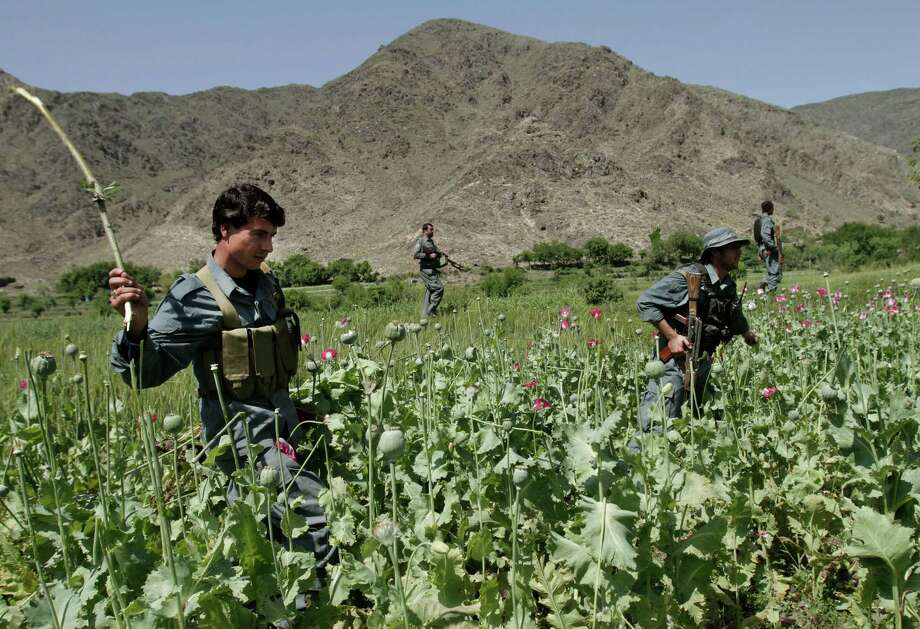 In this Saturday, April 13, 2013 photo, Afghan policemen destroy an opium poppy field in Noorgal, Kunar province, east of Kabul, Afghanistan. Opium poppy cultivation has been increasing for a third year in a row and is heading for a record high, the U.N. said in a report released Monday. Poppy cultivation is also dramatically increasing in areas of the southern Taliban heartland, the report showed, especially in regions where thousands of U.S.-led coalition troops have been withdrawn or are in the process of departing. The report indicates that whatever international efforts have been made to wean local farmers off the crop have failed. Photo: AP