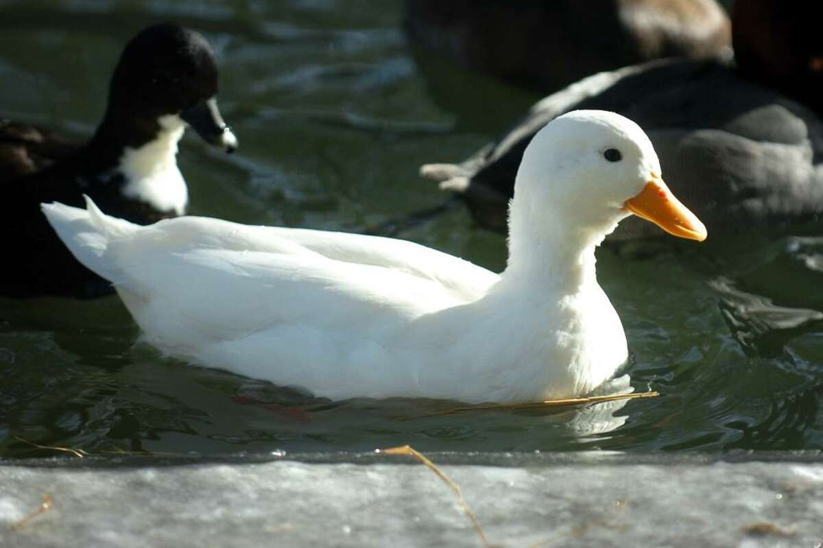 This call duck is one of a pair spending this winter with other water fowl at Connecticut's Beardsley Zoo, in Bridgeport, Conn.