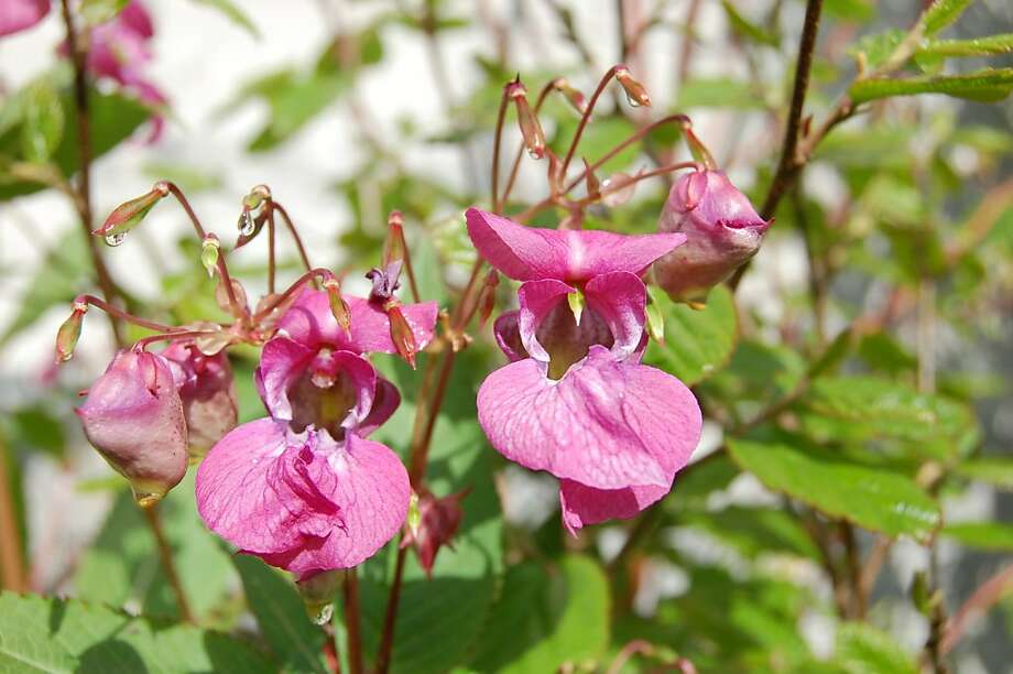 Unlike bedding impatiens, I. glandulifera grows quickly to 3 feet or taller while bushing out to 2 feet. Photo: Erle Nickel