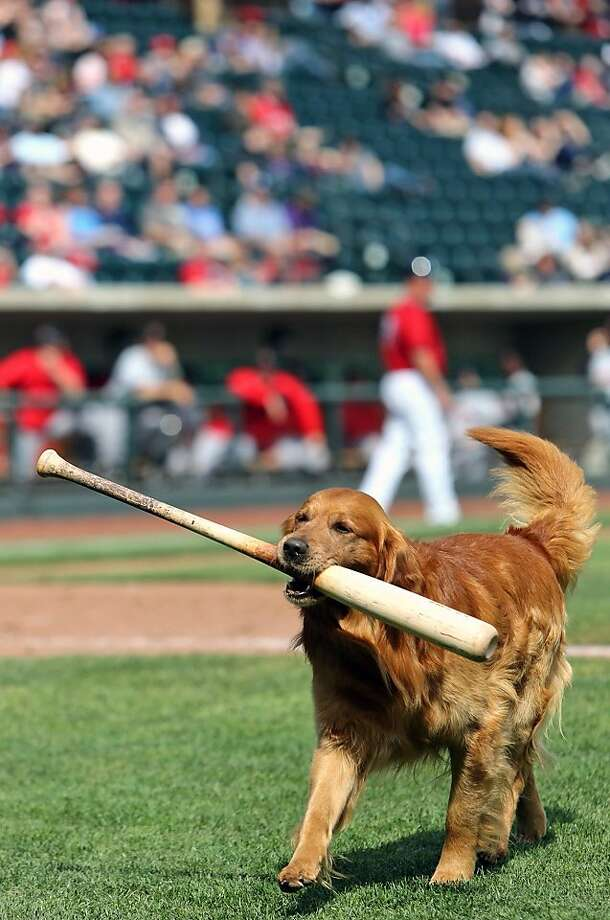 "A little slobber on the handle is a small price to pay: Facing budget constraints, the Minor League Columbus Clippers explore the possibility of replacing bat boys with Jake ""the Diamond Dog,"" a noted expert in bat retrieval. (Columbus, Ohio.) Photo: Brooke LaValley, Associated Press"