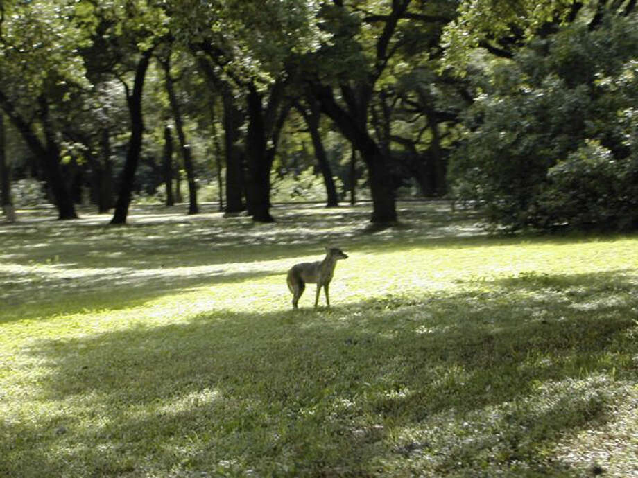 This coyote was spotted in the picnic area at Olmos Basin Park near Alamo Heights. Photo: Courtesy Lissa Martinez