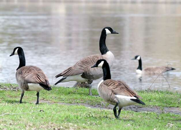 Canada Geese are seen Monday, April 22, 2013, at Peebles Island State Park in Waterford, N.Y.  DEC Commissioner Joe Martens announced the launch of New York?s Watchable Wildlife Program. (Will Waldron/Times Union) Photo: Will Waldron