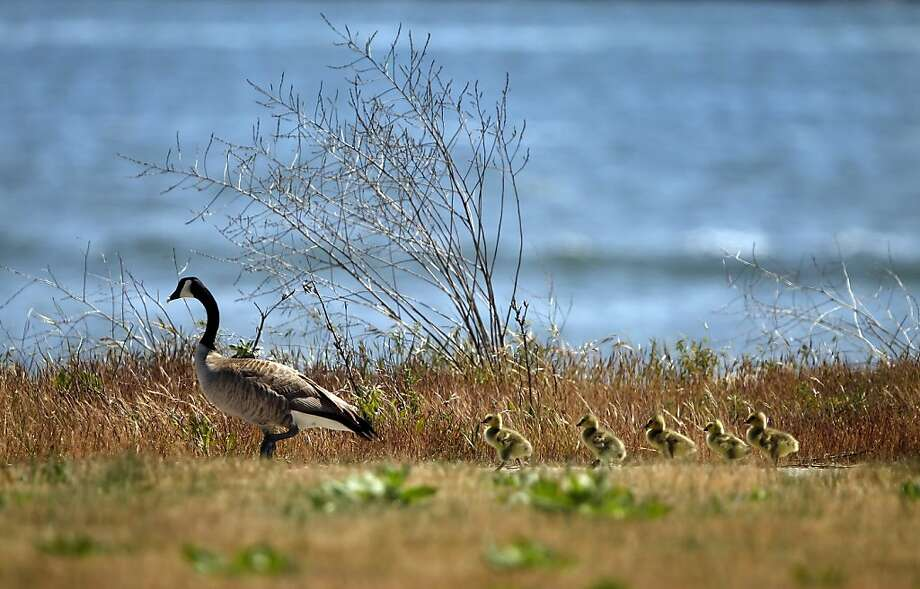 A mother goose and her goslings go out for a sunny stroll Monday at Middle Harbor Shoreline Park, Oakland.