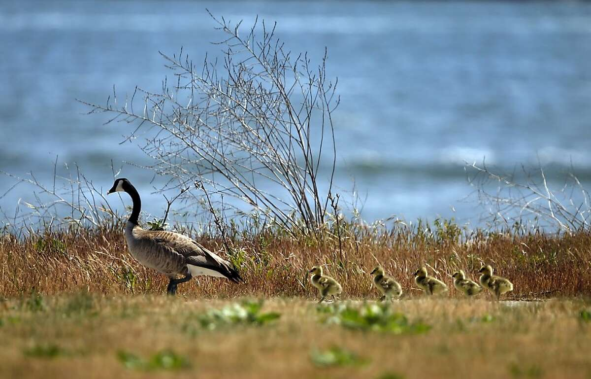 A mother goose and her goslings go out for a sunny stroll Monday at Middle Harbor Shoreline Park, Oakland. The National Weather Service sent out a weather advisory late Thursday afternoon warning of the potential of a 'widespread heat event