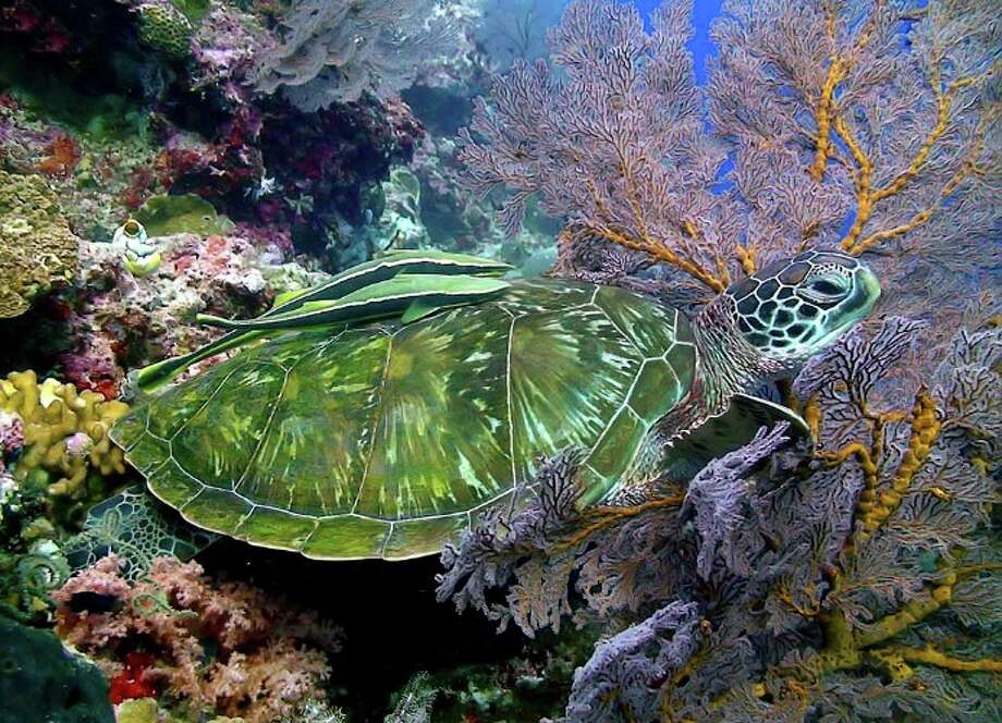 The green turtle is one of five species of marine turtles in Tanzania's waters and one of two,  along with the hawksbill, that nest in the country. All are endangered, but protected nesting areas have been established at places such as Madete Marine Reserve.