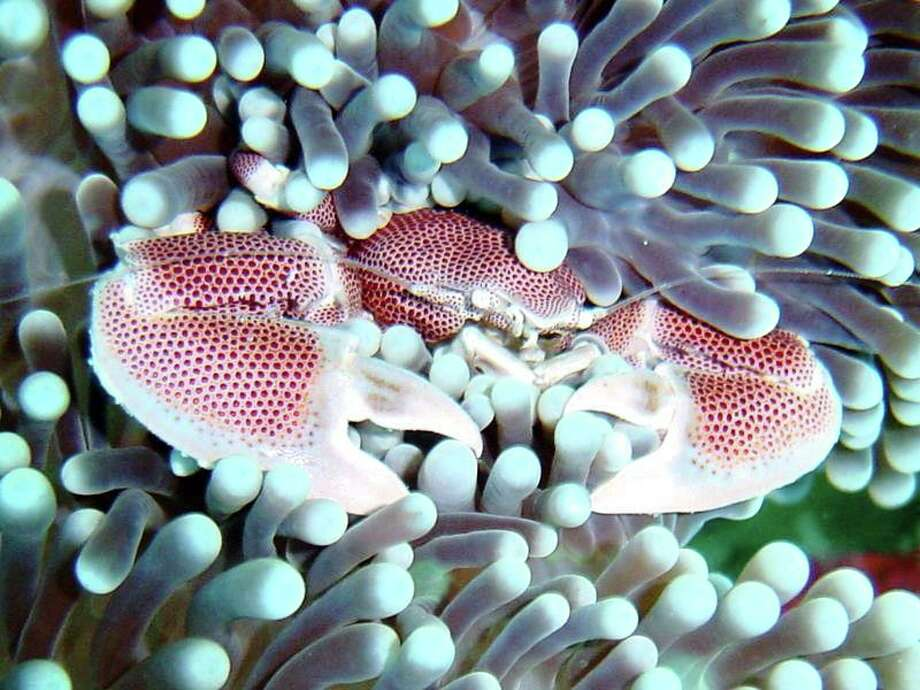 The coral reefs off Pemba, one of Tanzania\'s Spice Islands, are home to a vast array of marine life, including this crab hiding in coral.